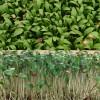 Koriandri võrsed 40g, mahe